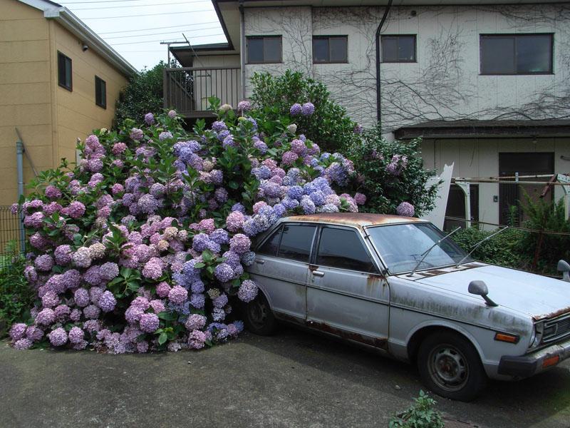 080625車を喰らう紫陽花1