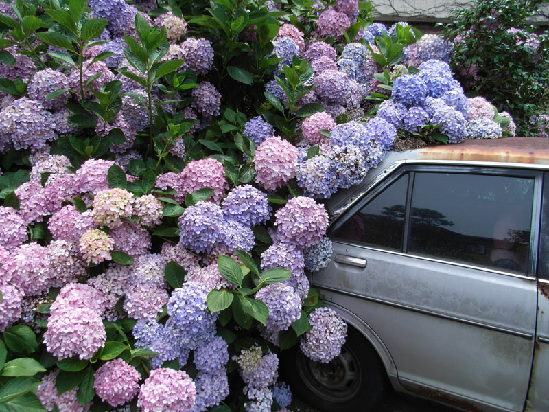 080625車を喰らう紫陽花2