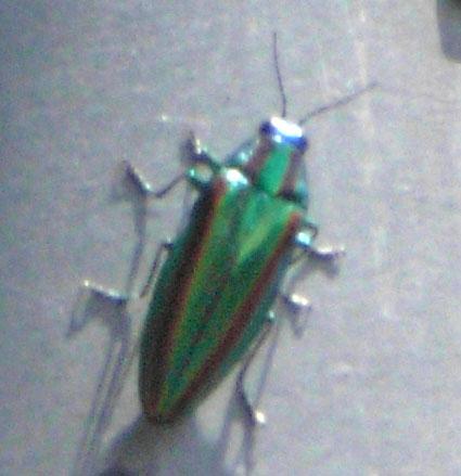 080724玉虫3