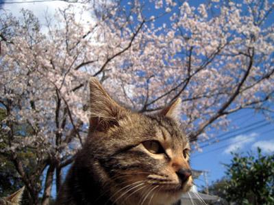 カメラマンを引っ掻く「桜ネコ」
