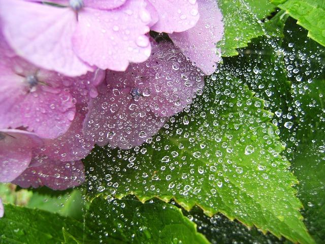 紫陽花のsizuku