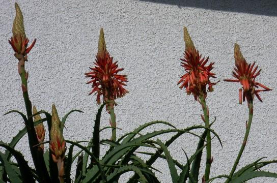 アロエ花1