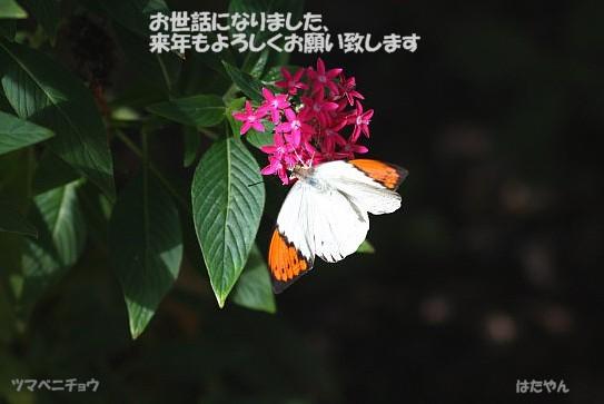 ツマベニチョウ1a