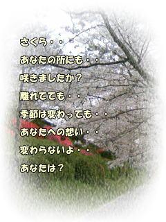 a-sakura.jpg