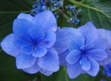 長谷観音紫陽花