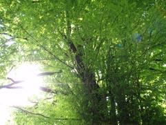 貴船・桂の木