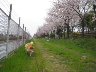 桜の下で失礼