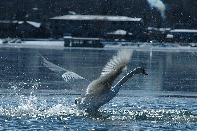 山中湖の白鳥さん