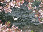 桜とさぎ君