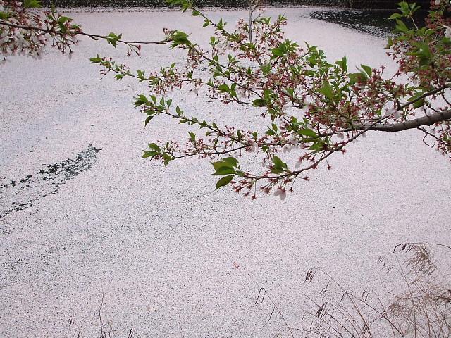 桜ジュータン