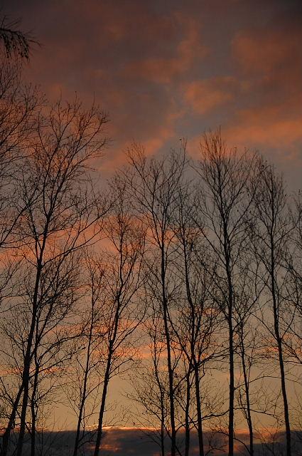 白樺と夕陽