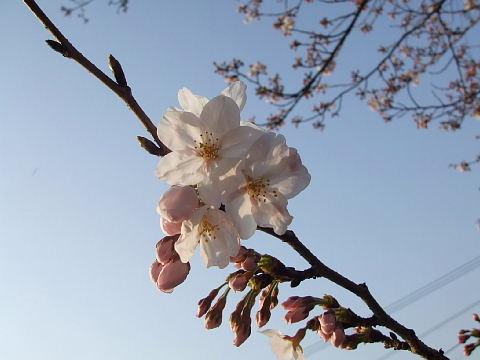 桜第一弾!