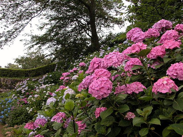 東堀斜面の紫陽花