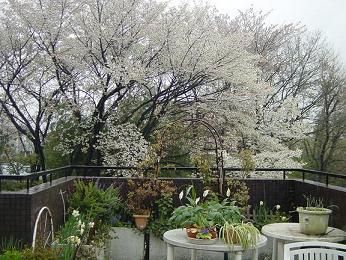 我が家のテラスからの桜(山桜)です。