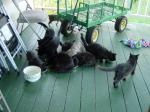 えさを食べる猫たち