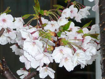 水も滴る桜