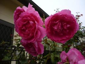 四季咲きバラ
