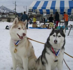 2008 湯沢犬ぞり 104