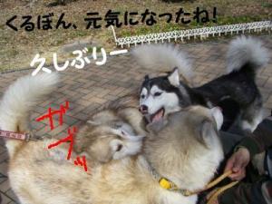 2008 湯沢犬ぞり 028