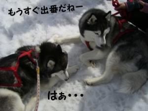 2008 湯沢犬ぞり 054