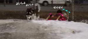 2008 湯沢犬ぞり 013