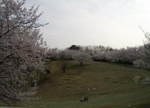 2008 桜 006