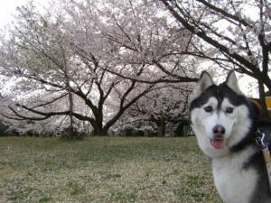2008 桜 009