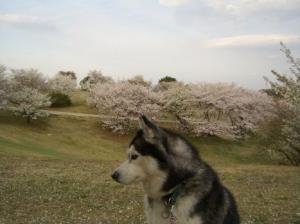 2008 桜 010