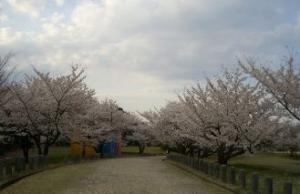 2008 桜 011