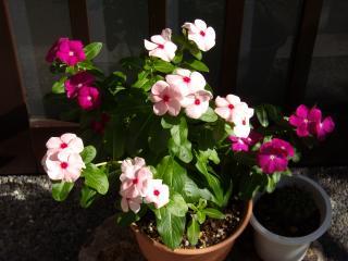 下町の花々(夢の女)