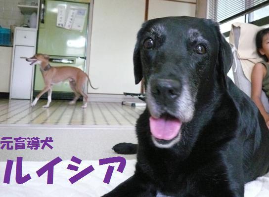 去年まで、現役盲導犬