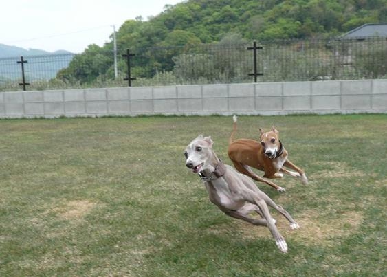 あずたんを追うトトと、トトを追うディオ
