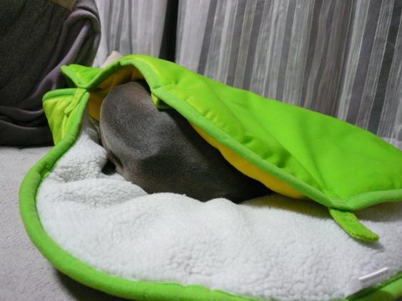 毛布に潜るの大好きなイタグレにぴったり♪