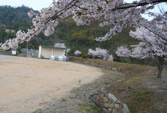 桜が吹雪いてたらもっと素敵だったんだけど。