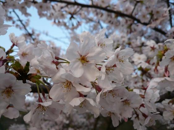 なんで桜って見るとうきうきするんでしょうね♪