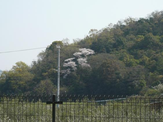 立派な山桜。