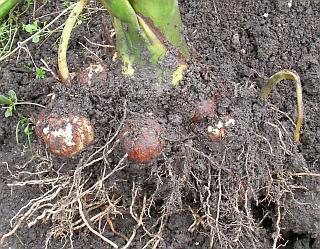 地面の下のサトイモ(一番大きい株)