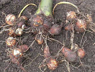 土をとって小芋をばらしたサトイモ(一番大きい株)