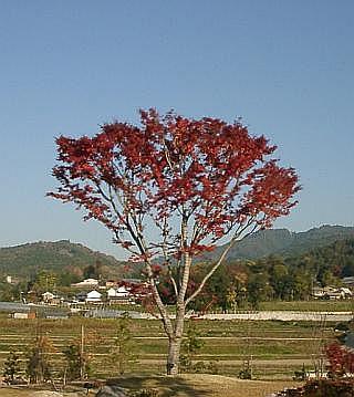 奈良万葉路の一本紅葉