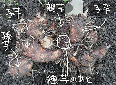 サトイモの親芋・小芋・孫芋