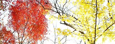 紅葉しているモミジと黄葉しているイチョウ(沖縄ではありません)