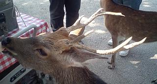奈良公園のニホンジカ