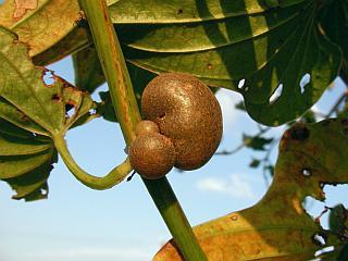 ヤマイモの蔓にできたむかご