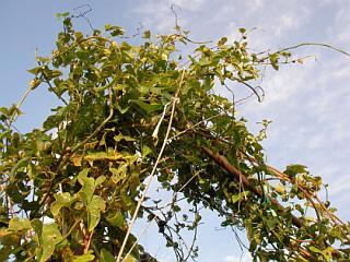 茂っているヤマイモ