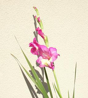 花が咲き始めたグラジオラス