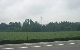 鹿児島県知覧町の茶園