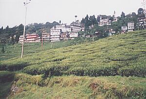 インド ダージリンのハッピーバレー紅茶園