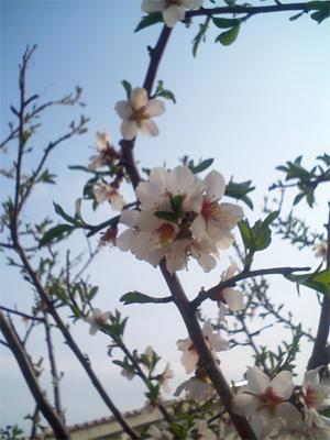 アーモンドの木