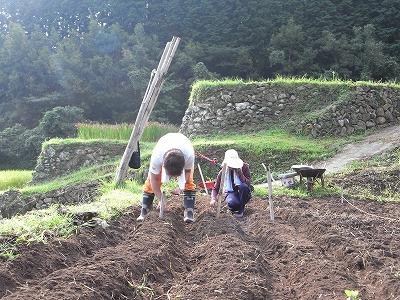 辛味大根の播種作業