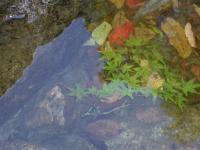 川の中の紅葉